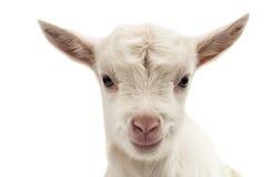 一只白色山羊的画象 免版税图库摄影