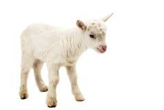 一只白色山羊的画象 库存照片