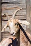 一只白色山羊的头 图库摄影