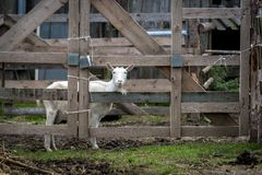 一只白色山羊看在木篱芭外面 库存照片
