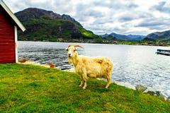 一只白色山羊看照相机 免版税库存照片