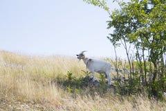 一只白色山羊 免版税库存图片