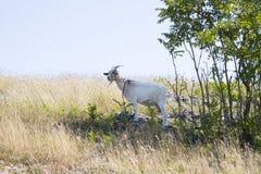 一只白色山羊 免版税库存照片