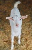 一只白色山羊 库存图片