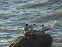 一只白色朝向的燕鸥为另一只鸟提供银鱼鱼 库存图片