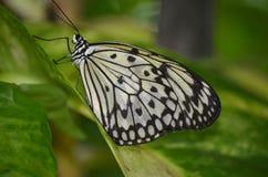 一只白色树若虫蝴蝶的特别旁边外形 图库摄影