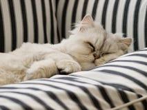 一只白色波斯猫 库存照片
