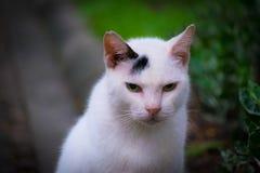 一只白色泰国猫 免版税库存图片