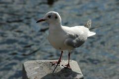 一只白色海鸥在海边 免版税库存图片