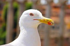 一只白色海鸥的头与一个红色冲程的在眼睛和额嘴附近,并且黏附了得下来 照片在罗马被做了 库存图片