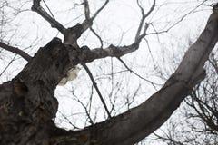一只白色灰鼠 免版税图库摄影