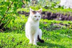 一只白色猫坐草在庭院里在无核小葡萄干附近灌木在晴朗的weather_的 图库摄影