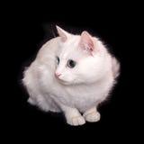 一只白色猫坐黑背景 免版税库存照片