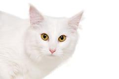 一只白色猫的面孔 库存照片