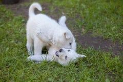 一只白色瑞士护羊狗的小狗 免版税库存照片