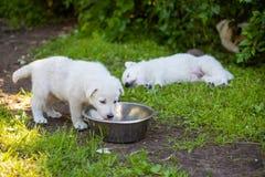 一只白色瑞士护羊狗的小狗 库存照片