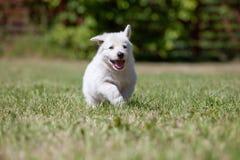一只白色瑞士护羊狗的小狗 免版税库存图片