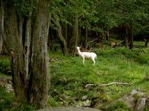 一只白色羊羔在牧场地 免版税库存照片