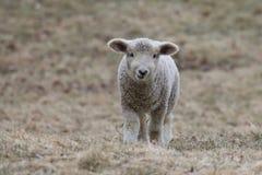 一只白色羊羔在牧场地 库存照片