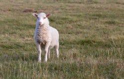 一只白色羊羔 免版税图库摄影