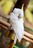 一只白色美冠鹦鹉的画象 库存图片