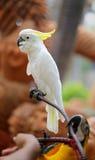 一只白色美冠鹦鹉的画象 免版税库存图片