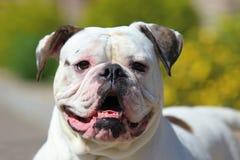 一只白色美国牛头犬的画象 免版税图库摄影