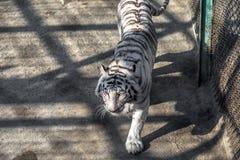 一只白色老虎在东北虎公园,哈尔滨,中国 免版税图库摄影