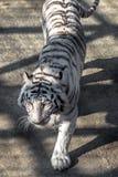 一只白色老虎在东北虎公园,哈尔滨,中国 免版税库存照片