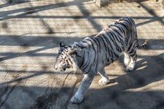 一只白色老虎在东北虎公园,哈尔滨,中国 免版税库存图片