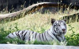 一只白色老虎在动物园里 免版税图库摄影