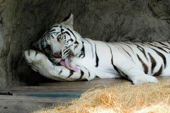 一只白色老虎在动物园里 库存图片