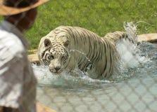 一只白色老虎执行与它的教练员 免版税图库摄影