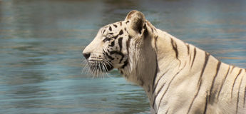 一只白色老虎支持湖 库存照片
