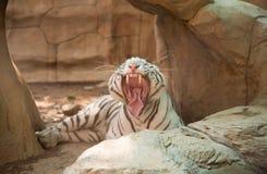 一只白色老虎的图象在自然背景的 免版税库存照片