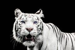 一只白色老虎的画象与蓝眼睛的 图库摄影