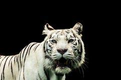 一只白色老虎的画象 库存图片