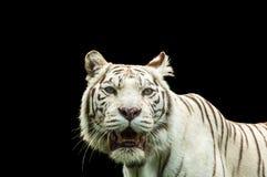 一只白色老虎的画象 免版税库存照片