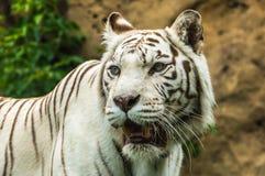一只白色老虎的画象 图库摄影
