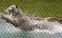 一只白色老虎飞跃入它的水池 免版税图库摄影
