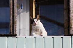 一只白色肥胖猫在春天坐一个阳台并且注视从那里的路人 库存图片