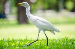 一只白色苍鹭在庭院里 免版税图库摄影