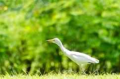 一只白色苍鹭在庭院里 免版税库存图片
