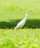 一只白色苍鹭在庭院里 免版税库存照片