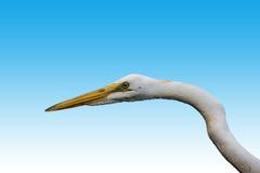 一只白色苍鹭的画象 免版税图库摄影
