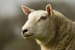 一只白色英国绵羊的头 免版税库存照片