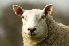 一只白色英国绵羊的头 免版税库存图片