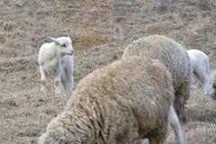 一只白色萨福克羊羔 免版税库存照片