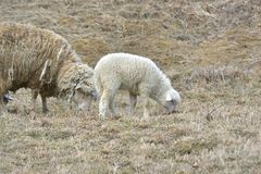 一只白色萨福克羊羔 图库摄影