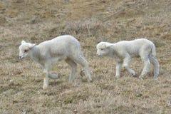 一只白色萨福克羊羔 库存图片